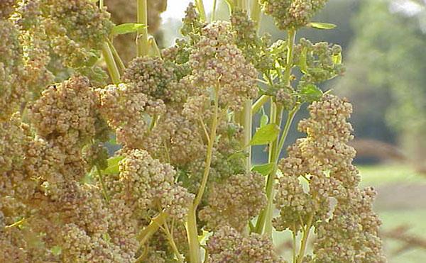 Weißer Quinoa